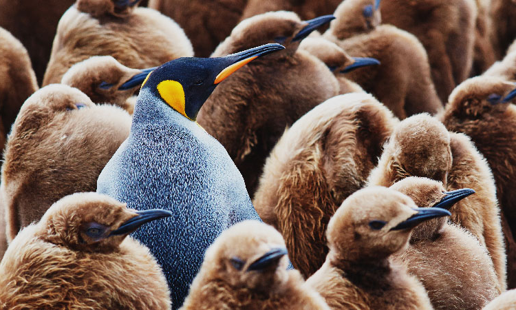 Emperor penguin standing out.
